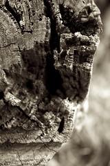 DoF (morribrad) Tags: wood tree nature sepia canon dead eos aperture cut australia canberra dslr amateur deadwood act pp beginner 500d cutdown