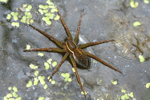 Fishing spider ( Dolomedes)