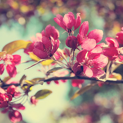 Colors (~ Maria ~) Tags: flowers tree colorful dof bokeh magenta cerise crabappletree malushopa