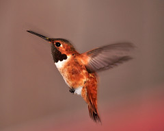 Male Rufous Hummingbird (champbass2) Tags: california male birds northerncalifornia garden fly wings nikon hummingbird wildlife birding flight creative moment feisty rufous rufoushummingbird natuer nikond90 champbass2