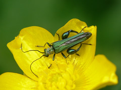Oedemera nobilis (m) (bramblejungle) Tags: macro insect beetle nobilis oedemera buttspiece