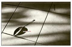 Fallen Leaf (mankamen et ella) Tags: auto morning light sun sc nikon kodak trix 50mm14 400 f2 nikkor milf fju rsm photomic selfdevelop filmforever manilovefilm randomshotmalaysia filmjunkiesunite filemmalaya