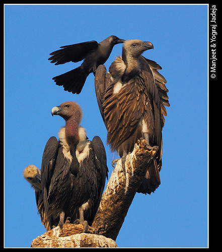 Crows mobbing vultures (Gyps bengalensis)