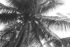holy mama Coconut