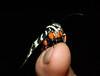 Noctuidae>Comocrus behrii Mistletoe Moth IMG8724 (Bill & Mark Bell) Tags: insect australia lepidoptera noctuidae westernaustralia animalia arthropoda exmouth insecta behrii taxonomy:class=insecta taxonomy:order=lepidoptera taxonomy:kingdom=animalia taxonomy:phylum=arthropoda taxonomy:family=noctuidae geo:country=australia mistletoemoth comocrus geo:state=westernaustralia geo:town=exmouth geo:lon=11425453egeolat2217752sgeoalt8m taxonomy:genus=comocrus taxonomycommonnamemistletoemoth taxonomybinomialnamecomocrusbehrii comocrusbehrii 11425453e2217752salt8m