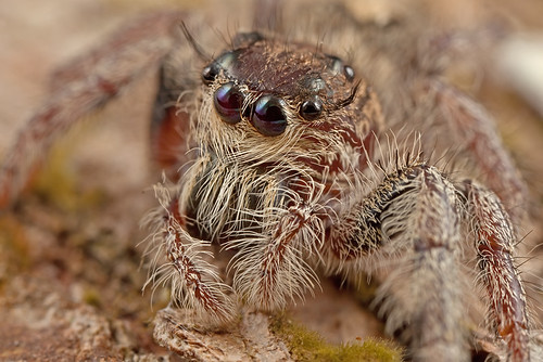 ... it's always good to look close 37 - Jumping Spider ...