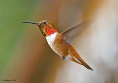 Flitting Along (jimgspokane) Tags: birds feathers hummingbirds hummers rufous otw specanimal rufoushummingbirds onlythebestare naturewatcher thewonderfulworldofbirds todaysbest