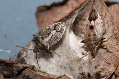 Shieldbugs (kasia-aus) Tags: two nature bug insect australia canberra stinkbug act melba 2010 shieldbug