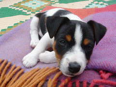 """""""Lucky"""", aged 8 weeks (J.Russell) Tags: puppy terrier sleepy jackrussell tricolour"""