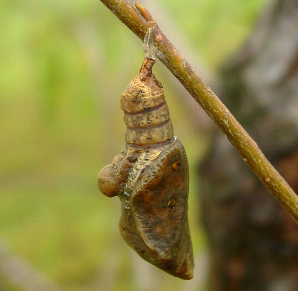 Viceroy or Red-spotted Purple Chrysalis?