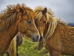 Wheat Horses (Stuck in Customs) Tags: world travel wild horses horse hairy cold nature animal animals june digital island photography iceland blog high furry europe dynamic stuck natural bokeh candid photoblog software processing imaging wilderness intimate range hdr tutorial trey sland travelblog customs 2010 icelandic northatlantic midatlanticridge ratcliff hdrtutorial stuckincustoms iclandic treyratcliff photographyblog stuckincustomscom nikond3s