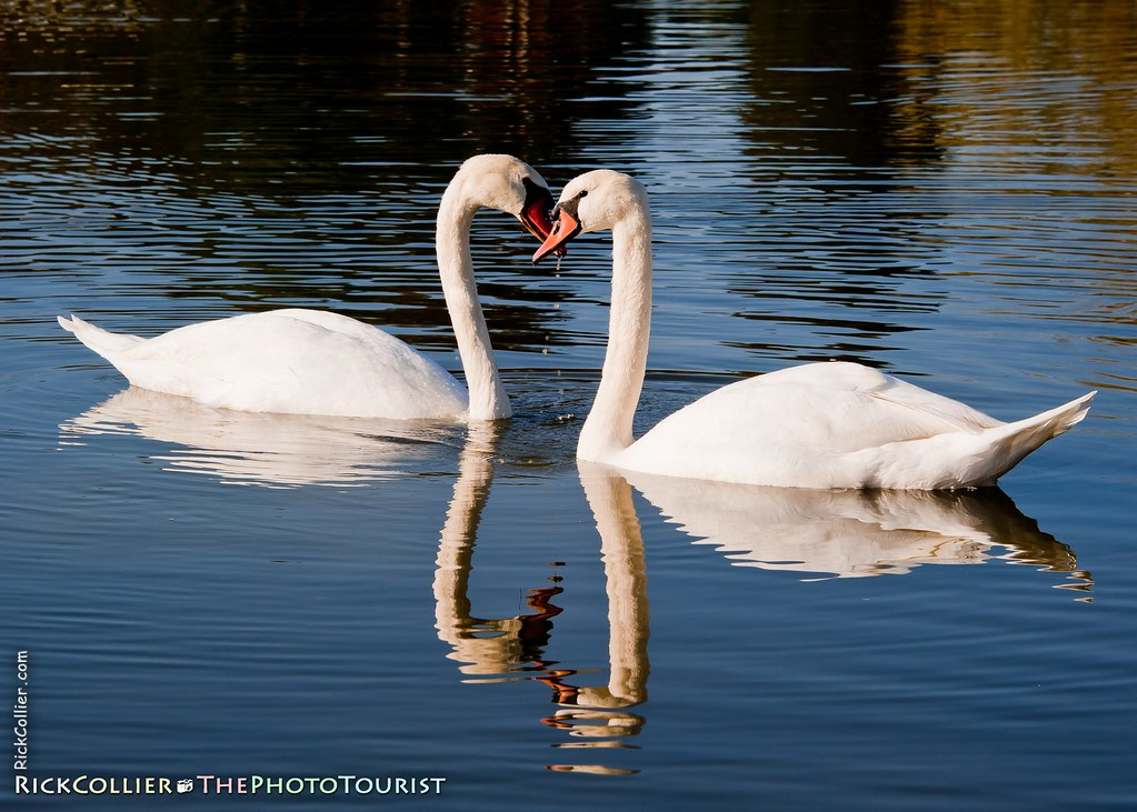 A pair of swans in the lake at Keswick Vineyards, in Keswick, Virginia