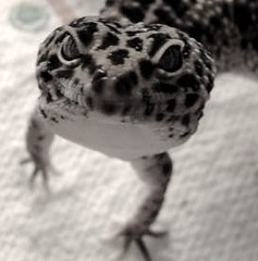 Handsome Dude (jenniewrenbird) Tags: leopardgecko
