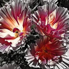 Firehearts (GeminEye27) Tags: artisto cinnamon gazgolderlive desaturation topazclean photoshop layerblending poppy flower texture