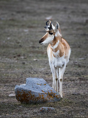 Fast (David Recht) Tags: yellowstone gardiner montana unitedstates us pronghorn antler fast speed