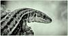 Day 186. (lizzieisdizzy) Tags: blackandwhite blackwhite black whiteandblack white whiteblack monochrome mono monotone monochromatic animal lizard newt scales skin feet claws snakelike beadyeye mouth eye ear reptile harmless reptillian creature a female zootoca vivipara femalezootocavivipara