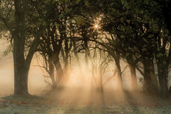 Chilwell Light (Julian Barker) Tags: chilwell manor golf course nottingham nottinghamshire east midlands england uk europe mist fog atmosphere trees rays beams light sun orb sunrise dawn autumn 2016 julian barker canon dslr 600