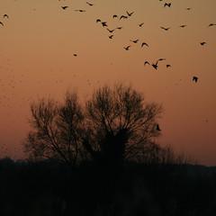 Murmuration-4 (Odd Wellies) Tags: hamwall murmuration starlings