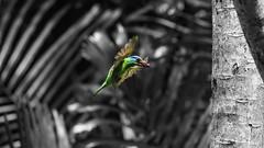 五色鳥|Megalaima oorti (里卡豆) Tags: 五色鳥 啄木鳥 olympus penf 300mm f40 olympus300mmf40 sky bird 嘉義 台灣 chiayi 鳥 飛羽