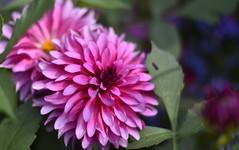 _DSC6931 (anniart1) Tags: flowers dahlia dahlien dahlie anniart