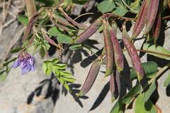 Vetch seed pods (nikname) Tags: oceansidebeach oceanside netartsbayoregon oregonbeaches beach