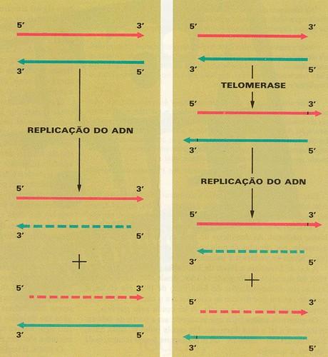 Telomerase e DNA por Nobrega, 1990.