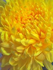 Chrysanthemum Details (Jun's World) Tags: world flowers flower macro up yellow closeup canon petals high flickr close dynamic details petal mums mum magnified range chrysanthemum tone hdr bulaklak chrysanthemums mapped juns macrolens tonemapped chrisanthemum hdrphoto hdrphotos crisantemum junsworld