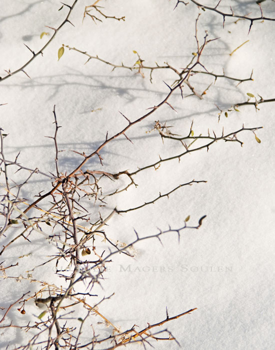 A jagged bare bush pokes through the fresh snow providing a contrast between the soft snow and sharp thorns.