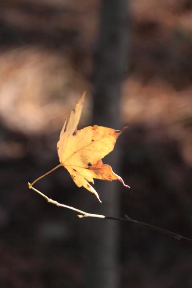 123109_leaf