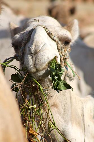 Cairo - Camel Market - 11