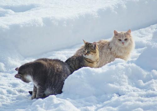 Snow Cats