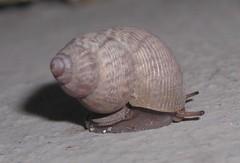 Pomatis elegans