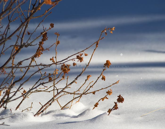 A mountain mahogany bush with its russet winter leaves contrasts with the soft tones of a fresh snow in Colorado.
