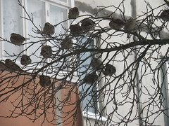 Sparrows in the tree (OLLENA) Tags: city bird nature animal ukraine sparrow housesparrow passerdomesticus rivne passeriformes   passeridae