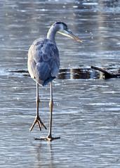Walking on thin ice (_Robert C_) Tags: nyc blue winter ny bird ice heron frozen pond sigma statenisland blueheron 70200mm d300 mountloretto