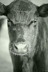 Cow b&W - Micks Dec 09 copy-Edit (h brand photography) Tags: art western ranchart hbrand fineartfinephotography
