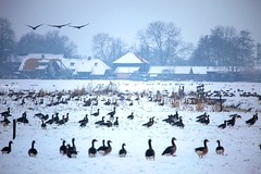 What happened to the grass? (kees straver (will be back online soon friends)) Tags: trees houses winter cold flying utrecht farm thenetherlands goose bombsaway flyinginformation flyingaway orangefeet nerdeland baambrugge whiteworld solidwater ridingmybike slipperyice keesstraver walkingonsnow lookingforgrass