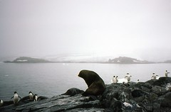 880202 Wildlife in the Mist (rona.h) Tags: 1988 antarctica february cloudnine furseal palmerstation ronah adeliepenguins