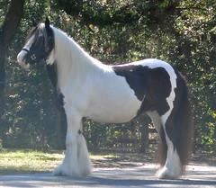 Anna (The Pelton Vanners Gypsy Vanner Horses) Tags: gypsyvanner oakfieldanna