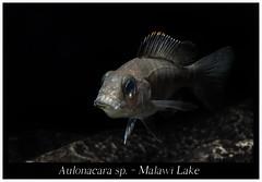 Aulonacara_sp_800_02 (Bruno Cortada) Tags: malawi marino mbunas cclidos sudafricanos tanganyica