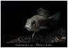 Aulonacara_sp_800_02 (Bruno Cortada) Tags: malawi marino mbunas cíclidos sudafricanos tanganyica