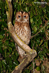Tawny Owl, Strix aluco, at night (Nigel Blake, 16 MILLION views! Many thanks!) Tags: tree bird history nature birds night canon photography eos nocturnal natural wildlife bedfordshire ivy covered owl blake nigel broom tawny strix strigidae aluco 1dsmkiii vosplusbellesphotos