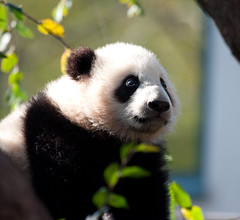Yun Zi pictures from yesterday morning (San Diego Shooter) Tags: wallpaper zoo sandiego explore giantpanda sandiegozoo desktopwallpaper babypanda yunzi yunzisandiegozoo sandiegodesktopwallpaper