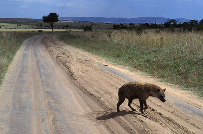 hyene