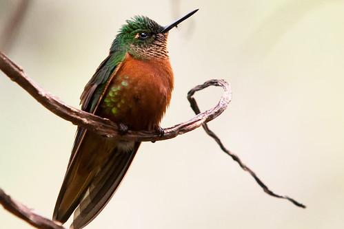 フリー画像| 動物写真| 鳥類| 野鳥| ハチドリ/ハミングバード| チャムネフチオハチドリ|      フリー素材|