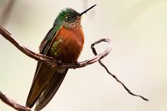 [フリー画像] [動物写真] [鳥類] [野鳥] [ハチドリ/ハミングバード] [チャムネフチオハチドリ]      [フリー素材]