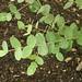 eucalyptus-gunnii