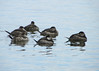 Ruddy Ducks catching a light snooze