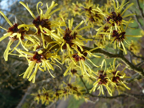 Prune Witch Hazels For More Flowers Gardeners Tips