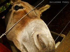 Cheirando a cmera (GUI Peres) Tags: burro jumento cheirando fazenda curral fucinho hx1